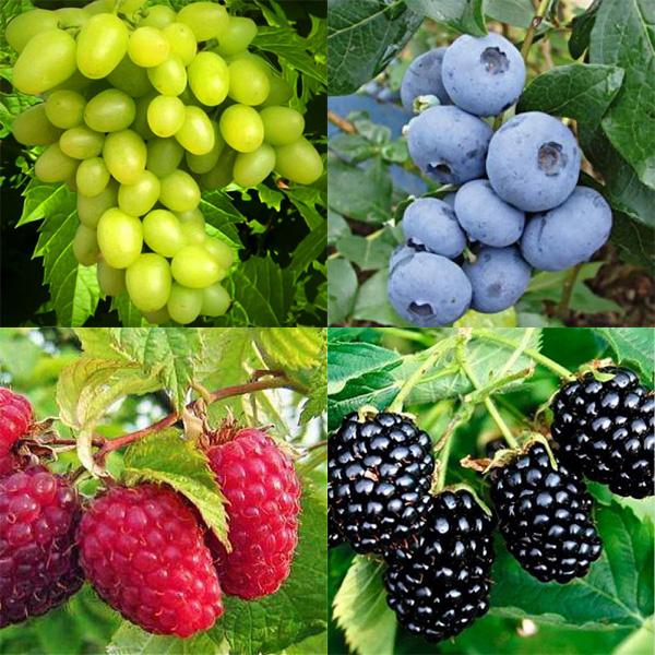 кустарники плодово-ягодные